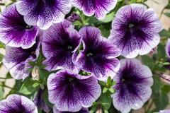 Petunia Copy