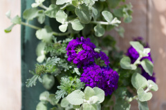 Mix Verbena – Helichrysum Copy