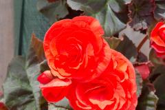 Begonia Copy