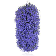 Campanula – Lobelia